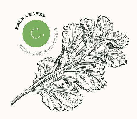 Hand drawn sketch style kale salad. Organic fresh food vector illustration isolated on white background. Vintage vegetable leaf cabbage illustration. Engraved style botanical picture.
