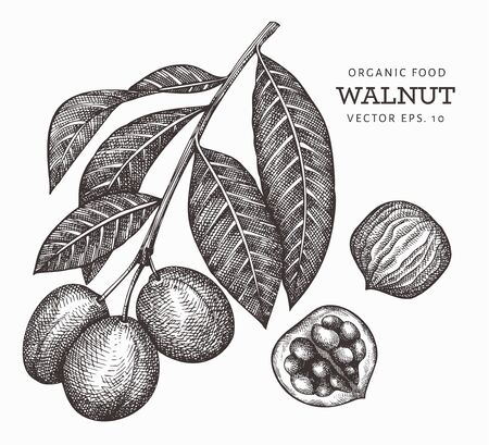 Hand drawn sketch walnut branch. Organic food vector illustration isolated on white background. Retro nut illustration. Engraved style botanical picture.