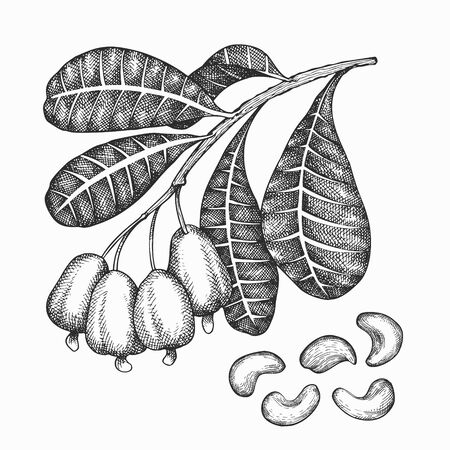Hand drawn sketch cashew branch. Organic food vector illustration isolated on white background. Vintage nut illustration. Engraved style botanical picture. Vecteurs