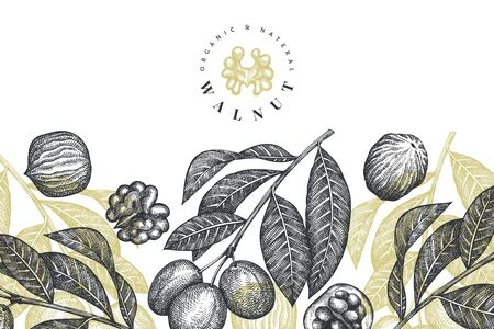 Hand drawn sketch walnut design template. Organic food vector illustration. Retro nut illustration. Engraved style botanical background.