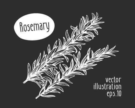 Hand drawn rosemary illustration. Vector herb sketch on chalk board. Ilustração Vetorial
