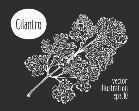 Hand drawn cilantro illustration. Vector herb sketch on chalk board.