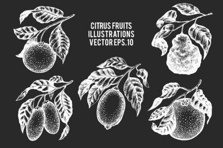 Citrus fruits set. Hand drawn vector fruit illustration on chalk board. Engraved style. Retro botanical fruit illustrations. Ilustração