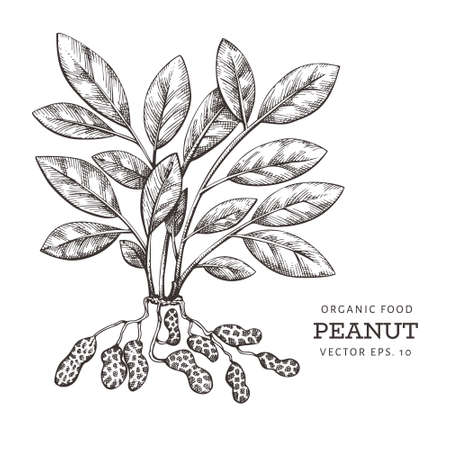 Hand drawn peanut branch and kernels. Organic food vector illustration on white background. Retro nut illustration.