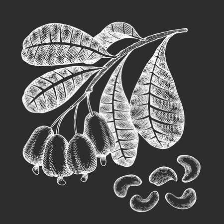 Hand drawn sketch cashew branch. Organic food vector illustration isolated on chalk board. Vintage nut illustration. Engraved style botanical picture.