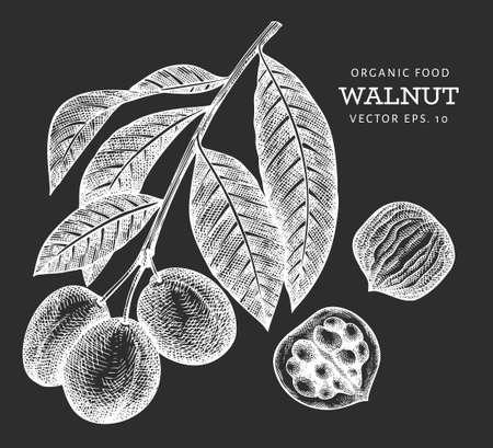 Hand drawn sketch walnut kernels. Organic food vector illustration isolated on chalk board. Vintage nut illustration. Engraved style botanical picture.