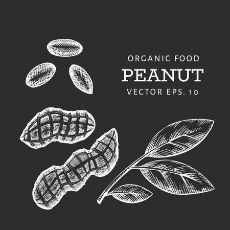 Hand drawn peanut branch and kernels. Organic food vector illustration on chalk board. Retro nut illustration. Engraved style botanical picture.