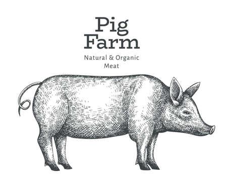 Hand drawn farm animal illustration. Vector pig sketch. Retro hog illustration