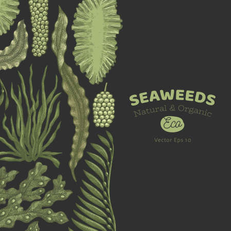 Seaweed color design template. Hand drawn vector seaweeds illustrations on dark background. Engraved style sea food banner. Retro sea plants background