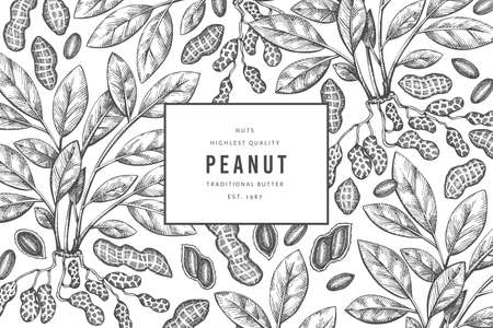 Hand drawn peanut branch and kernels design template. Organic food vector illustration on white background. Retro nut background. Engraved style botanical picture. 矢量图像