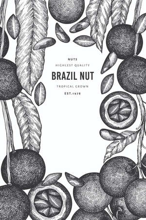 Hand drawn brazilian nut branch and kernels design template. Organic food vector illustration on white background. Retro nut illustration. Engraved style botanical banner.