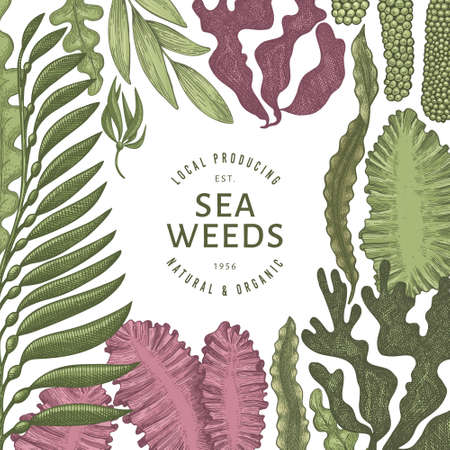 Seaweed color design template. Hand drawn vector seaweeds illustration. Engraved style sea food banner. Retro sea plants background 矢量图像