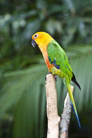 perico: Jandaya perico, loro de m�ltiples colores en un �rbol