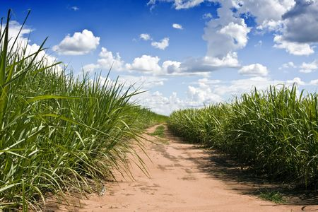 Plantation of sugarcane in Brazil photo