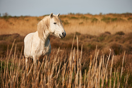 white horse of Camargue horizontally in the countryside photo