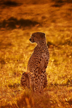 Cheetah sitting in backlight at dawn photo