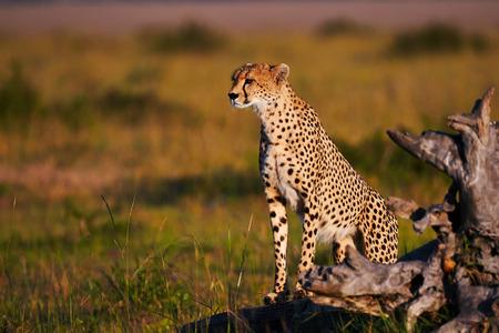 Cheetah in Masai Mara in Kenya photo