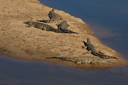 Crocodiles sunbathing on the sand along the bank of the river in the Kruger National Park