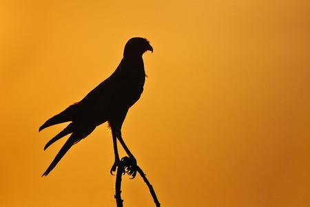 goshawk: Chanting Goshawk in backlight at sunset