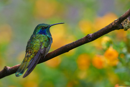 Green Violet Hummingbird perched with flowers in the background