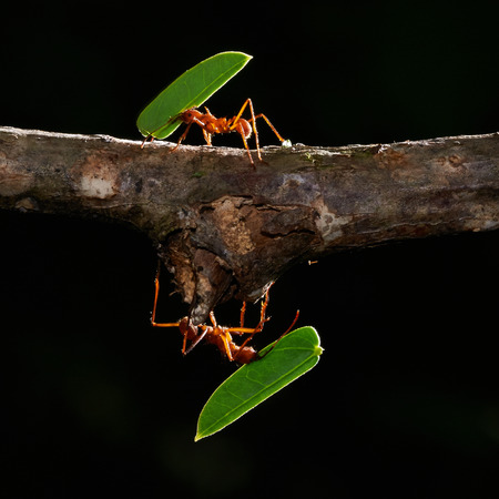 leaf cutter ant: Two leaf-cutter ants in a tropical forest at Panama Stock Photo