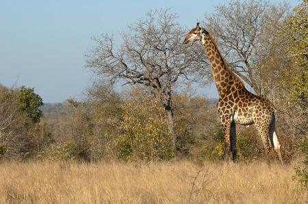 Giraffe in the Kruger National Park in horizontal