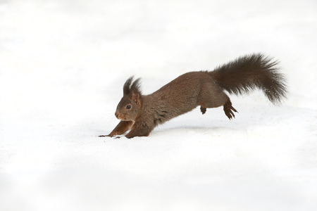 Squirrel running on snow in winter in a Swiss forest photo