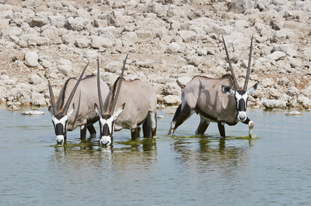 Oryx drinking at a waterhole in Etosha National Park photo
