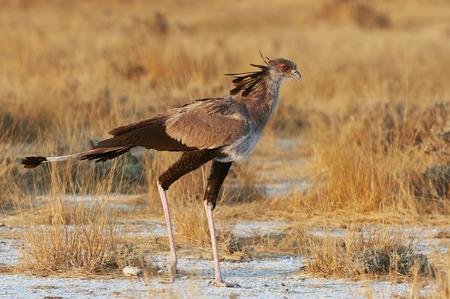 Secretary bird walking in the bush in search of prey