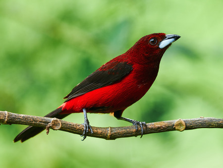 Crimson-backed Tanager in a rainforest in Panama.
