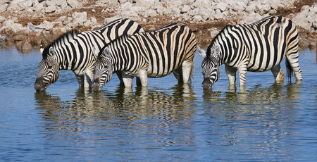 burchell: Three zebras drinking at a waterhole in Namibia