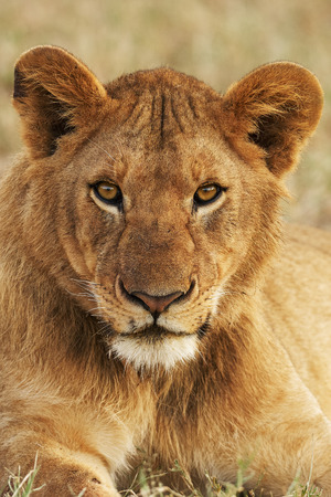 Portrait of a young lion vertically while looking directly into the camera