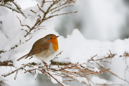 Robin shivering in the snow, perched on a small branch Stock Photo