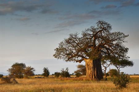 zimbabwe: Paisaje africano con un árbol baobab grande