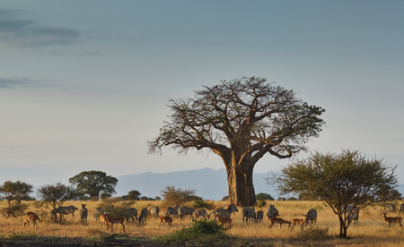 Landscape of an african park with baobab, zebras and impala
