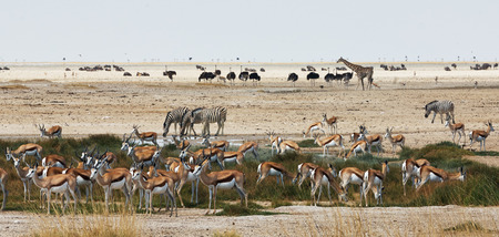 African animals of different species close to a waterhole in Etosha National Park. 版權商用圖片