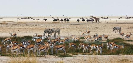 pozo de agua: Animales africanos de diferentes especies cerca de un pozo de agua en el Parque Nacional de Etosha.