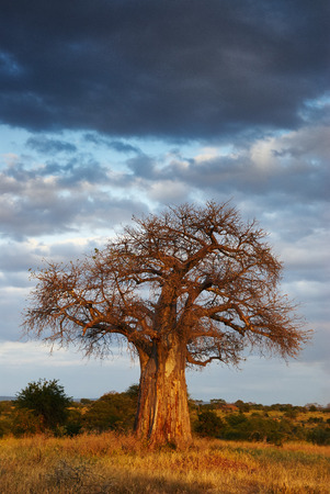 African landscape with a big baobab tree, in vertical