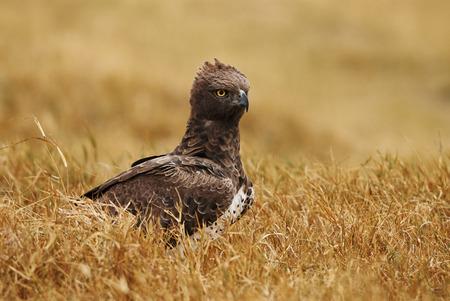 Martial Eagle portrait in Ngorongoro Conservation Area 版權商用圖片