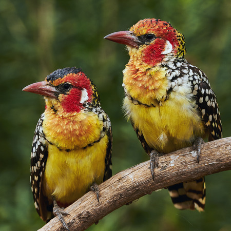 Couple of two colorful Red and yellow barbets
