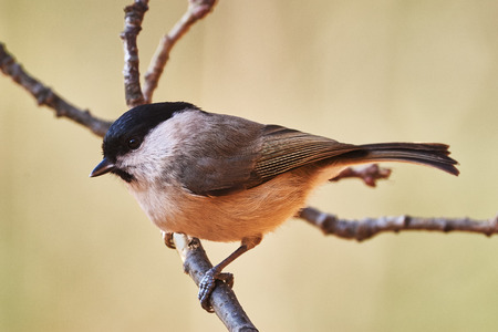 poecile palustris: Marsh tit perched on a little branch Stock Photo