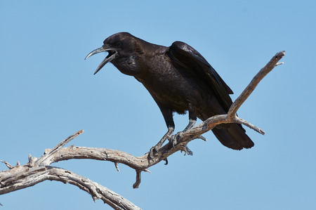 Black crow perched on a dead branch