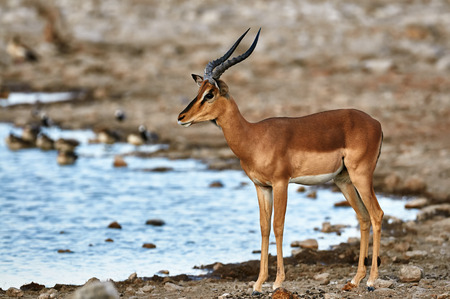 faced: Male of black faced impala at a waterhole in Etosha National Park