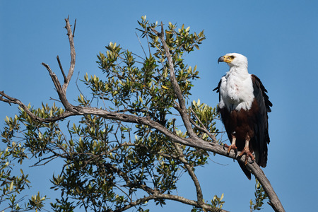 haliaeetus: A large African Fish Eagle perched on a branch