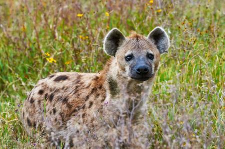 hienas: Hiena en el de la hierba alta del Parque Nacional del Serengeti, fotografiada de frente.