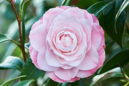 Camellia pink flower in spring