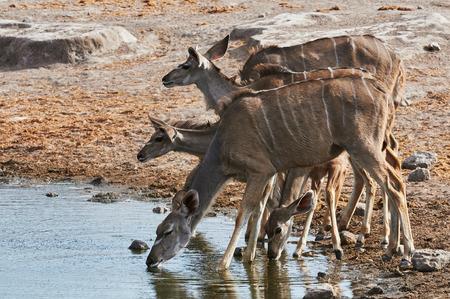 pozo de agua: Una manada de mayor Kudu bebiendo en una charca en el Parque Nacional de Etosha