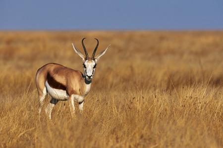 A male springbok in savannah of Namibia photo