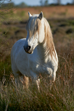 swampy: A white horse of Camargue with a long mane standing in a swampy area
