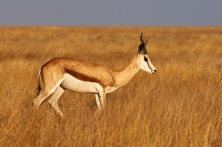springbok: A male springbok in savannah of Namibia